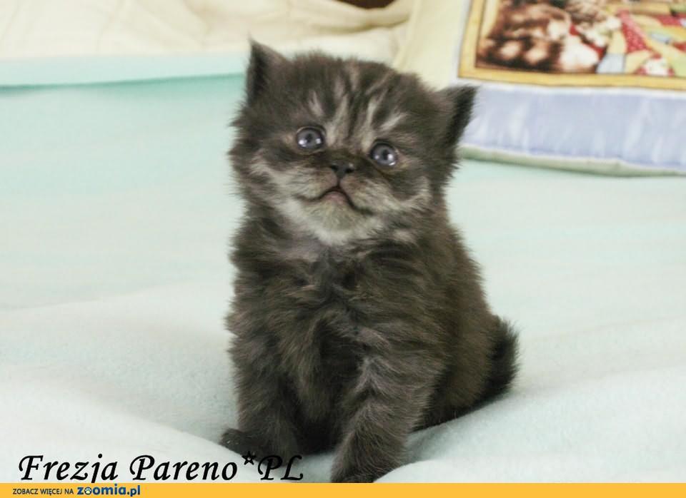 Frezja Pareno*PL - kotka brytyjska długowłosa czarna - rodowód WCF