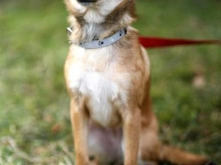 Pysia - mała  kochana lisiczka :)   warmińsko-mazurskie Olsztyn