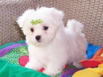 Genialny Pies Maltańczyk - ogłoszenia z hodowli. Psy Maltańczyki / Zoomia PI51