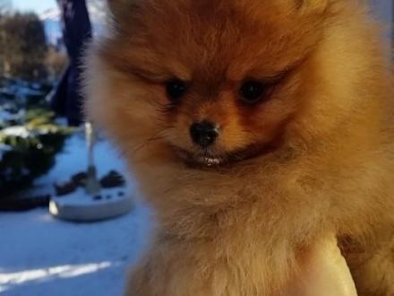 Pomeranian szpic    Szpice cała Polska
