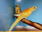 Świergotki oranżowe szeki