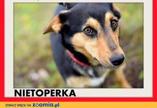 NIETOPERKA,mała,młoda,łagodna,rodzinna suczka jamnik mix.ADOPCJA,  łódzkie Łódź