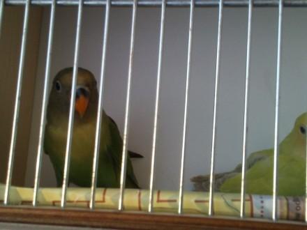 nierozlaczki papugi sprzedam
