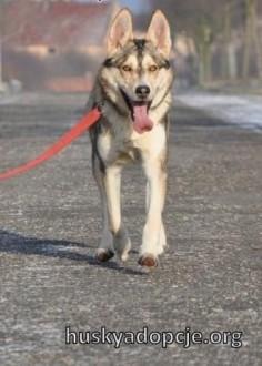NORRIS- młody  energiczny pies husky do adopcji   kujawsko-pomorskie Bydgoszcz