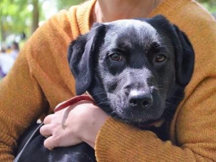 Carbon - uroczy mini labrador szuka domku