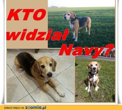 Zaginęła suczka beagle tricolor ok. Twardawy ,  opolskie Opole