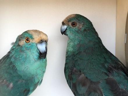 Papugi kozie Mondrolotki Niebieskie para