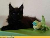 Olbrzymie kociaki z rodowodem FPL