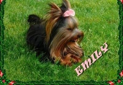 York  Yorkshire Terrier! Reproduktor 1 20kg  krycie!  Myślenice   małopolskie Kraków