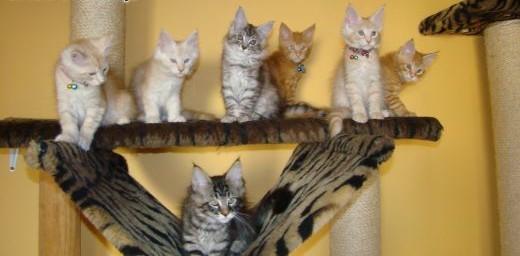 Kocie tygryski Maine Coon   Koty maine coon cała Polska