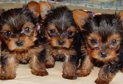Yorkshire Terrier York Miniaturka Szczenieta z Rodowodem- - Piekna--
