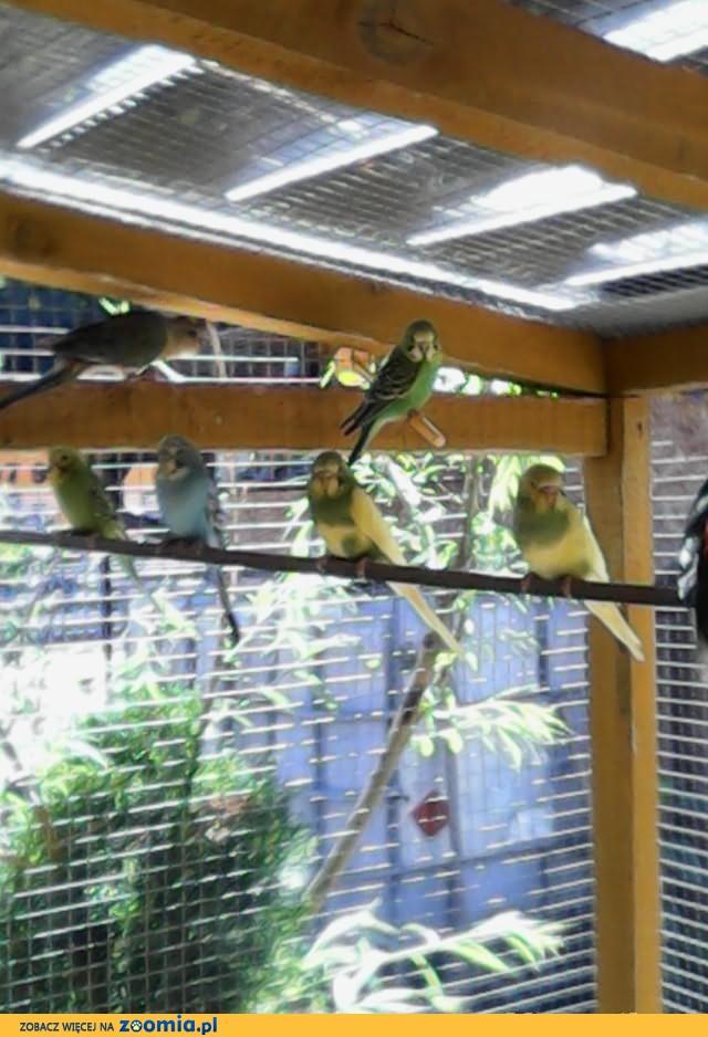 Sprzedam papugi.