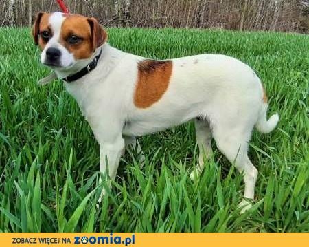 NIUSIA - kochana sunia w typie jack russell terrier prosi o dom,  mazowieckie Warszawa