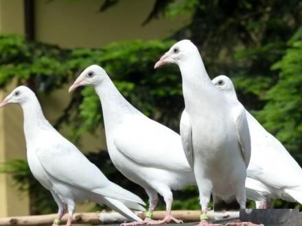Gołębie perłowe młode