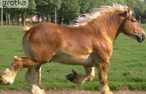 UkrainaCiezkie konie wlodzimierskie o duzej masie ciala w cenie 3 zl