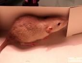 Rodowodowe szczurki.