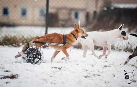 Wspaniały pies TOFFIK esencja psiej miłości :)   śląskie Katowice