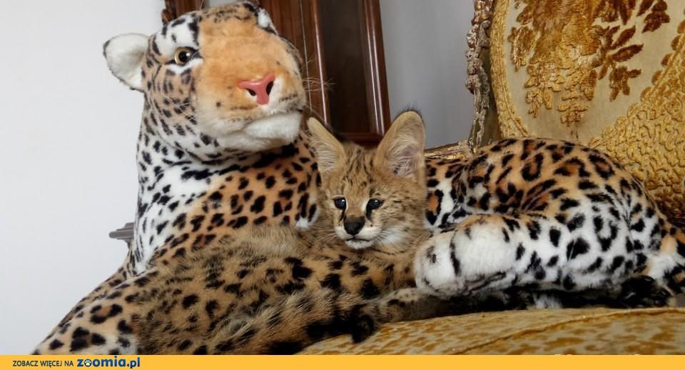 Unikalne Kocurek i Koteczka Serval 5 miesięczne « Bengalski « Koty DT43