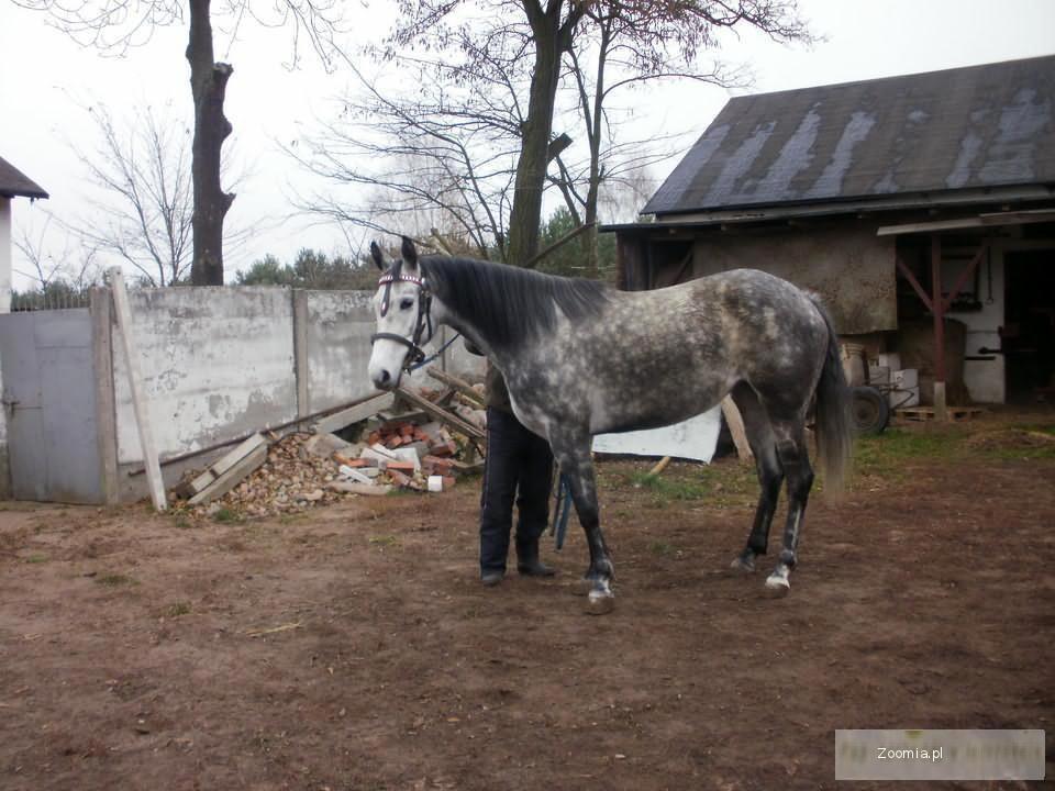 Szlachetny Koń Półkrwi