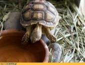 Żółw Sulcata, żółwie, jaja i wszelkiego rodzaju egzotyczne gady na sprzedaż