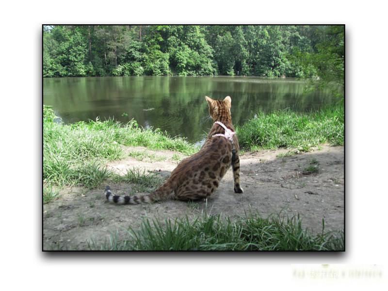 Kocięta Bengalskie tylko o wyjatkowym umaszczeniu i genetyce