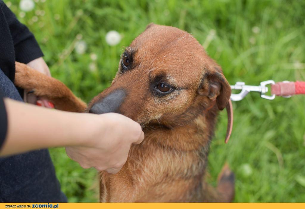 KROKIET – pies w typie niemieckiego teriera myśliwskiego