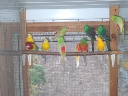 Świergotki seledynowe  papugi