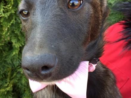 Słodziutka czekoladka Bibi  niewielki psi dzieciak do pokochania!