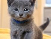 Kot rosyjski, kocięta rosyjskie niebieskie. Rodowód SHK/ WCF - Zona Grigia Pl