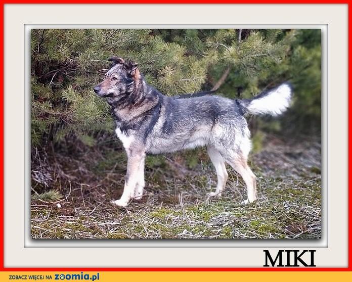 Średni 18 kg,1,5 roczny,łagodny,kontaktowy,przyjazny piesek MIKI_Adopcja_