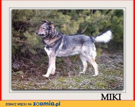 Średni 18 kg 1 5 roczny łagodny kontaktowy przyjazny piesek MIKI_Adopcja_