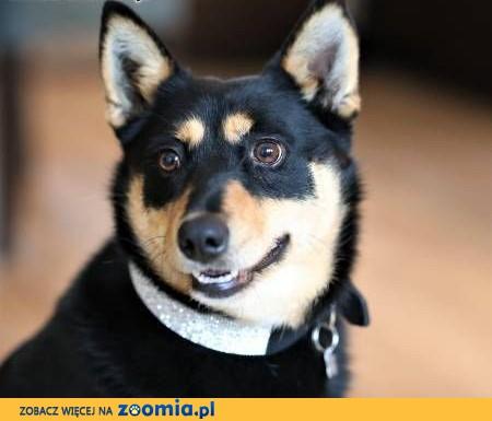 ZOJA - kochana, pro ludzka, wesoła sunia do adopcji,  mazowieckie Warszawa