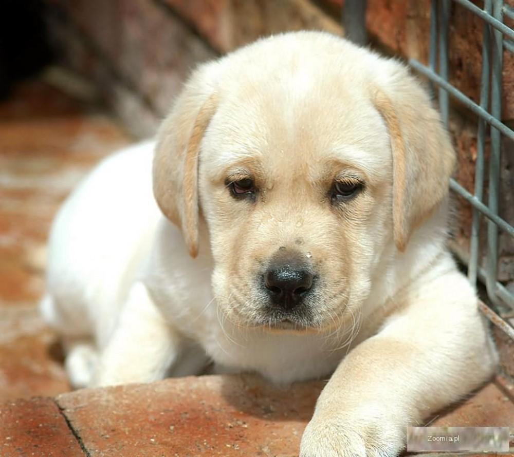 Labrador - Retriver