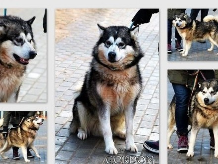 GORDON piękny pies w typie alaskan malamute szuka domu