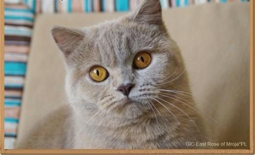 Kotka brytyjska szuka domu rodowód FPL/FIFe   mazowieckie Grójec
