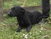 Piesek w typie czarnego labradora do adopcji