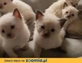 syjamskie kocięta Rasowe