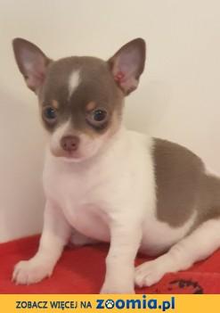 Kc Liliowy I Biały Chihuahua Samiec
