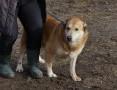Bufalo, duży, przyjazny i grzeczny! pokochaj super psa