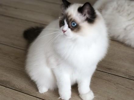 Kochana kotka Ragdoll z hodowli Teo-Cat*PL w typie show/breed