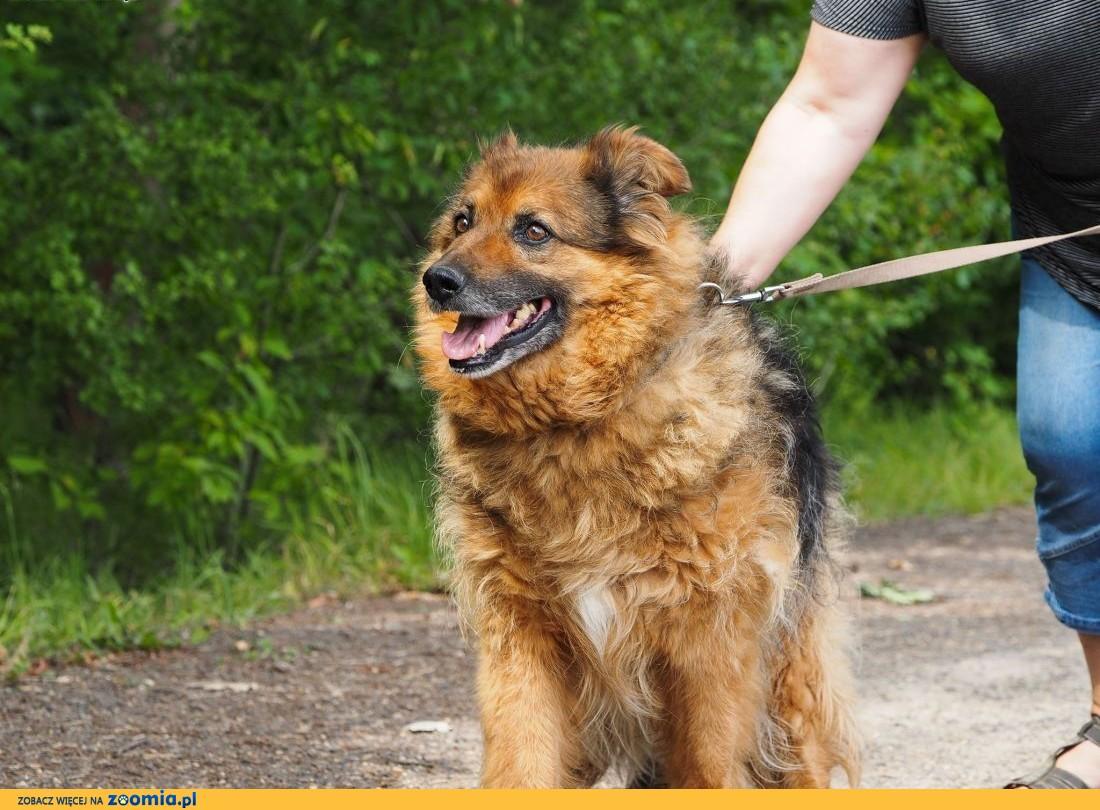 Nerwik-grzeczny, starszy pies pilnie szuka domu!,  śląskie Częstochowa