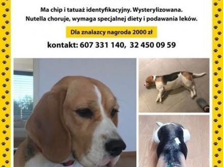 Zaginęła Nutella - beagle NAGRODA 2000,  śląskie Tarnowskie Góry