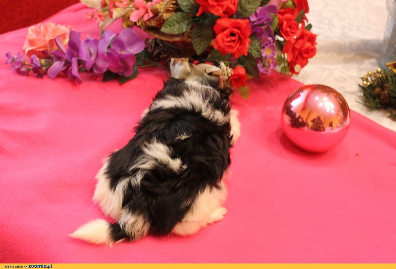 Biewer Yorkshire terrier -suczka z rodow,5 pokoleń -Ch-PL-rezerwacja -