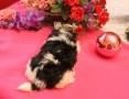 'Biewer Yorkshire terrier -suczka z rodow,5 pokoleń -Ch-PL-rezerwacja -