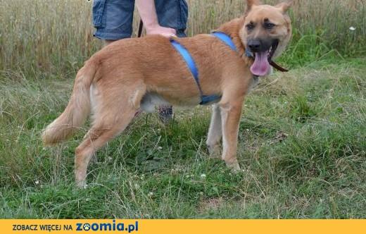 Bravo - piękny rudy wilk do adopcji ! ,  dolnośląskie Wrocław