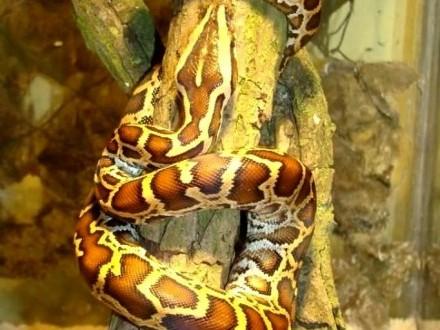 PYTON TYGRYSI Python molurus bivittatus - Młode - ZooWitekpl