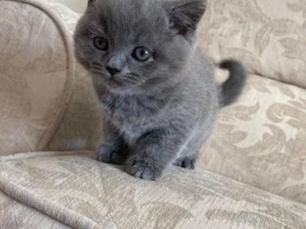 Sprzedam kotek brytyjski niebieski krótkowłosy