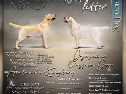 Labrador biszkoptowe szczenięta ZKwP/FCI