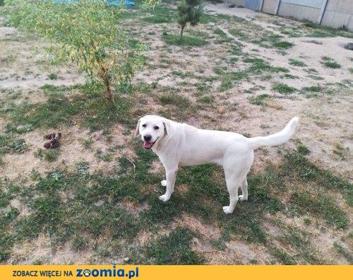 Bolo - cudowny labrador szuka domu