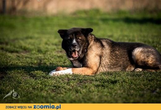 Jak nie kochać takiego psa ? APSIK czeka właśnie na Ciebie :),  dolnośląskie Wrocław